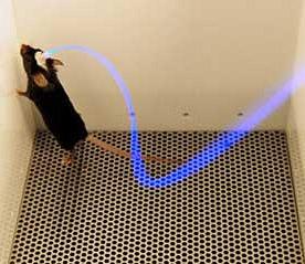 Myš v optogenetickém experimentu napojená na optické vlákno s modrým svìtlem