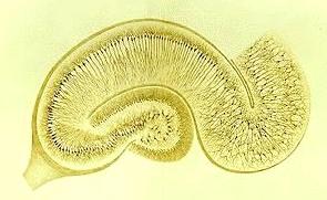 Řez částí mozkového hipokampu barveného Golgiho technikou