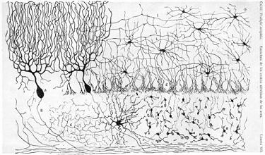 Část kuřecího mozečku obarvená vylepšené Golgiho metody