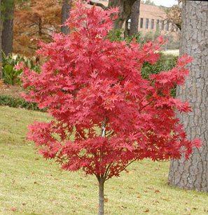 Rud� japonsk� javor Atropurpureum m� listy �erven� po cel� rok