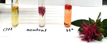 Porovnání barvy anthokyanu v zásaditém, neutrálním a kyselém roztoku (vpravo)