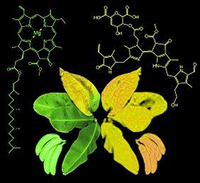 Struktura žlutého barviva vznikajícího rozkladem chlorofylu