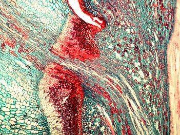Vrstva červených buněk na konci řapíku list oddělí od stromu