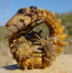 Kruhochvost Cordylus giganteus