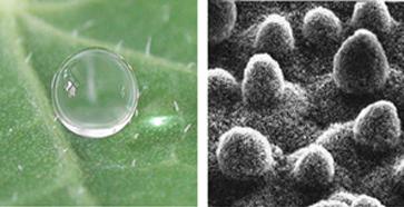 Voskem pokryt� hrbolky (trichomy) na povrchu lotosov�ho listu