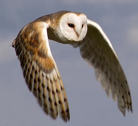 Tvar těla sovy napomáhá vzniku menších vírů a tiššímu letu